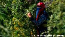 Marokko Cannabis-Bauer in der Rif-Region
