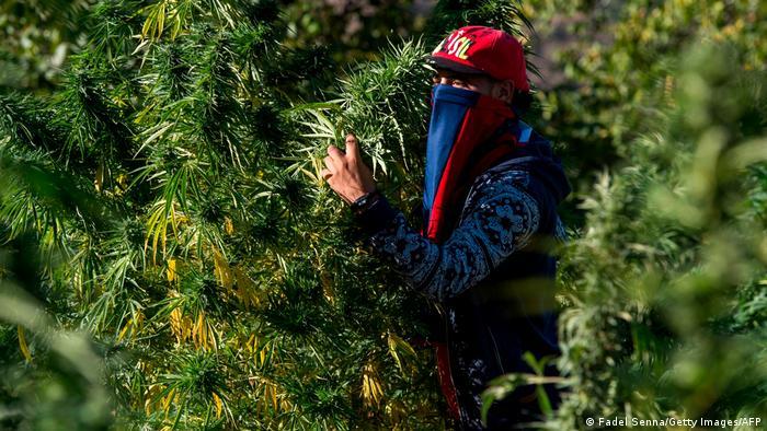 A masked farmer holds cannabis in a field near in Morocco's northern Rif region
