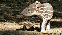 World Tapir Day | Tapir