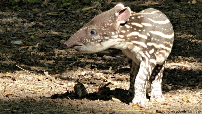 Un tapir.