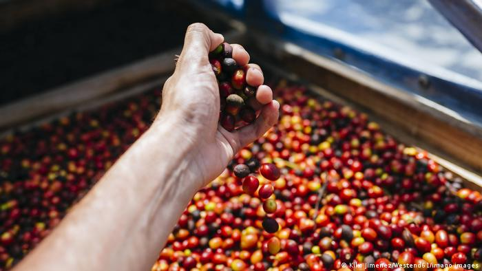 Ripe coffee beans on a drying sieve in Gran Canaria, Spain