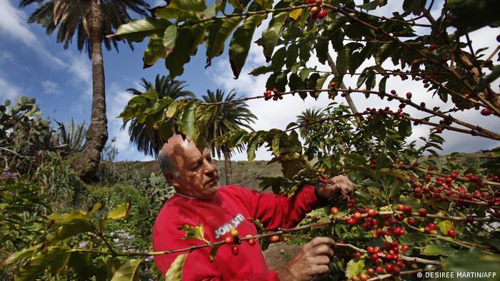 Spain Gran Canaria | Coffee growing in Valle de Agaete