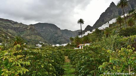 Spanien Gran Canaria   Kaffeeanbau im Valle de Agaete