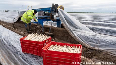 Un muncitor român care culege sparanghel în estul Germaniei