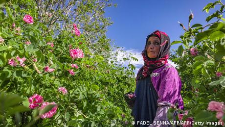 Marokko   Rosen in Kelaat Mgouna
