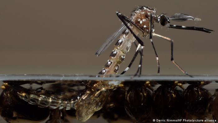 Esta foto sin fecha facilitada por Oxitec muestra un mosquito Aedes aegypti modificado genéticamente en su laboratorio del Reino Unido.