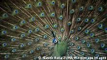 BdTD Tschechien Pfau im Prager Zoo