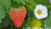 BdT Deutschland Erdbeeren lassen auf sich warten