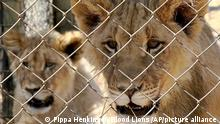 Lions in captivity in South Africa