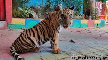 باغ وحشی در بنگلادش این ببر را به احترام اقدامات اقلیمی رئیس جمهوری آمریکا، جو بایدن نام گذاشت
