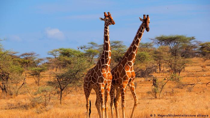 Giraffe, - Giraffa camelopardalis reticulata