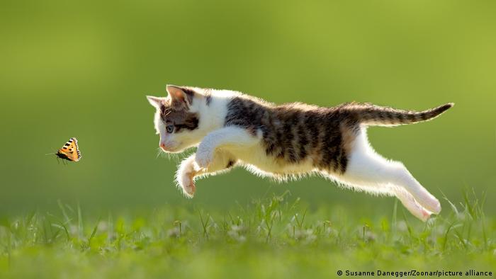 Un gato salta para atrapar una mariposa.