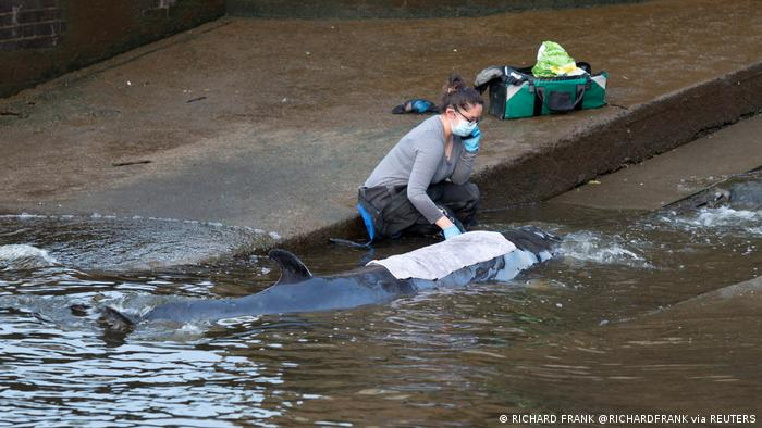 Andauernde verzweifelte Versuche zur Rettung des jungen Wals