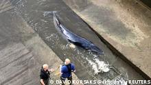 Großbritannien London Wal in der Themse gestrandet