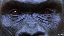 A lowland gorilla watches curious visitors to the Bronx Zoo's Congo Gorilla Forest exhibit Tuesday, June 22, 1999, in New York. Home to 75 species of animals, the exhibit replicates the tropics of Uganda, Congo and Rwanda, complete with waterfalls, mist (emitted from machines), jungle sounds and nests in trees - both for birds and gorillas. (AP Photo/Mark Lennihan)