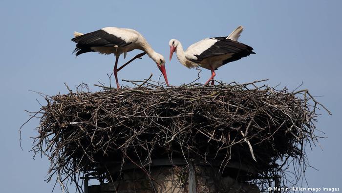 Vratile su se u Potsdam sa dalekog puta, čak iz podsaharske Afrike. Tu svijaju gnezdo u kojem će podići mlade. Nigde u Nemačkoj ne rađa se toliko roda kao Brandenburgu, ali biolozi upozoravaju da ih je ipak sve manje. Procenjuje se da bi svaki par roda morao da uzgaja najmanje dve mlade ptice kako bi se njihova populacija održala.