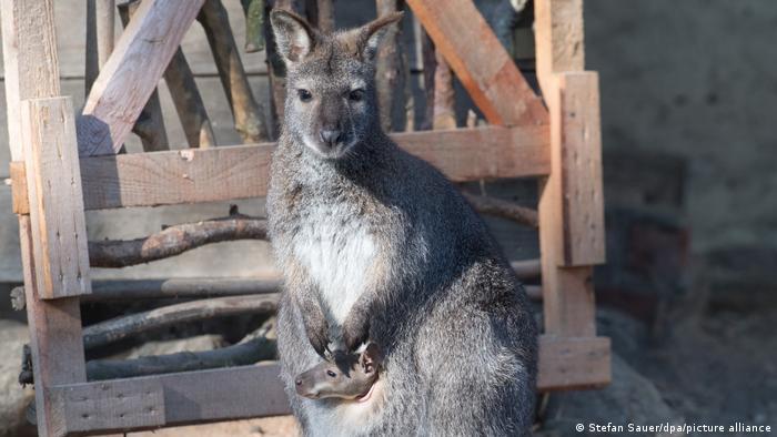Kangur Bennetta w ZOO Stralsund