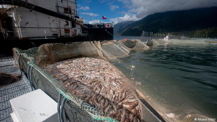 Chile l Recogida de salmones: Toten Lachs sammeln ins Comau-Fjord