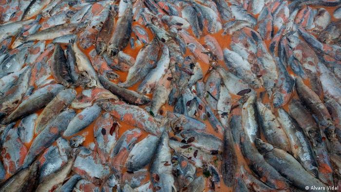 Chile l Salmones muertos: Koralle ins Comau-Fjord