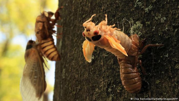 TABLEAU | USA Brood X Zikaden schlüpfen nach 17 Jahren