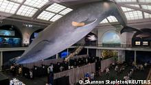 A blue whale model hangs with a band aid on its fin above a pop up vaccination site at the American Museum of Natural History in New York City, U.S., April 23, 2021. REUTERS/Shannon Stapleton TPX IMAGES OF THE DAY