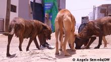 Cape Verde I Strassenhunde