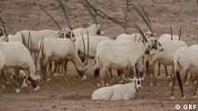 Sendung: Dokumentation Insel der weißen Antilope - Abu Dhabis Naturoase. Sendedatum 21.05.2021 Thema: Rettung der Arabischen Oryx Antilope auf der Wüsteninsel Sir Bani Yas vor Abu Dhabi Die Wüsteninsel Sir Bani Yas vor Abu Dhabi ist ein Refugium für wilde Tiere aus Arabien, Asien und Afrika. Hier gelang es, die in freier Wildbahn fast ausgestorbene Arabische Oryx Antilope, oder auch weiße Antilope genannt, zu retten. Die Insel und sowie das dort angesiedelte Naturschutzprojekt gehören zum größten Emirat der VAE, Abu Dhabi. Neben verschiedenster Arten von Antilopen, leben dort u. a. auch Giraffen, Geparden und Hyänen. Aber das Naturschutzprojekt repräsentiert auch die vergangene Lebenswelt der Beduinen unter freiem Wüstenhimmel.