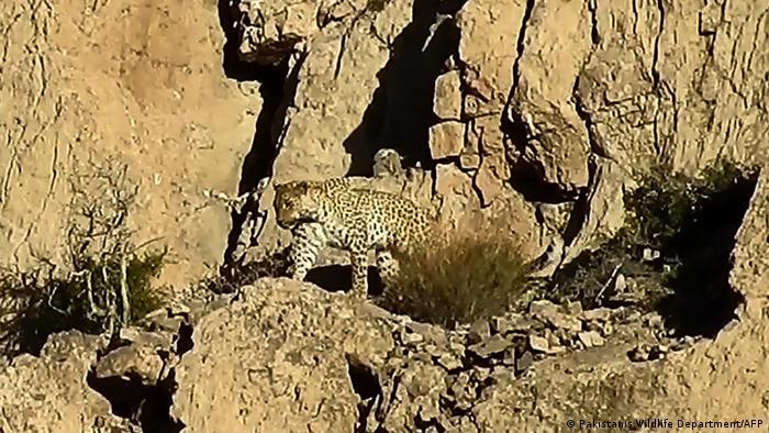 Pakistan   Seltener Leopard gesichtet