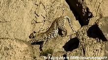 Pakistan | Seltener Leopard gesichtet