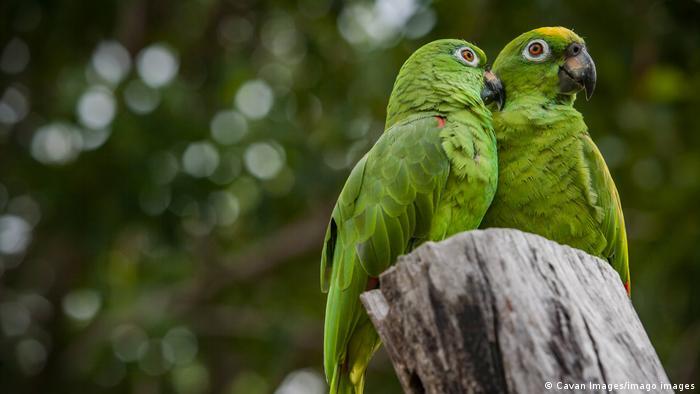 Biodiversidad de aves en Colombia. Pareja de loros verdes o amazonas mercenarias (Amazona mercenaria).