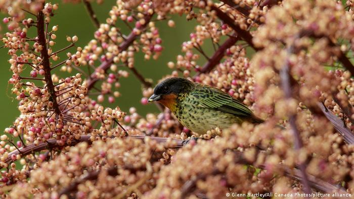 Biodiversidad de aves en Colombia. Tangara barbirrufa (Tangara rufigula) en los Andes colombianos.