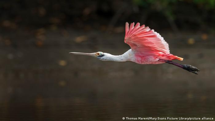 Biodiversidad de aves en Colombia. Espátula rosada (Platalea ajaja) en Los Llanos.