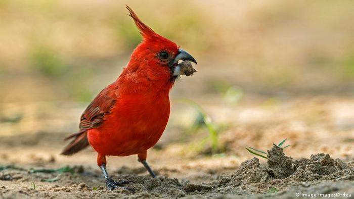 Biodiversidad de aves en Colombia. Cardenal guajiro.