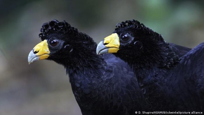 Biodiversidad de aves en Colombia. Pareja de paujil culiblanco o pavón guayanés (Crax alector).