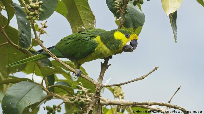 Biodiversidad de aves en Colombia. Loro orejiamarillo (Ognorhynchus icterotis) en las estribaciones de los Andes colombianos.