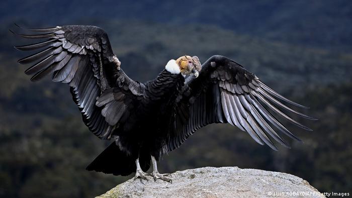 Biodiversidad de aves en Colombia. Cóndor de los Andes (Vultur gryphus).