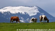 Kühe weiden im Tal vor schneebedeckten Bergen. Wegen eines kühlen und nassen Monats Mai verzögert sich der Almauftrieb in Bayern. (zu dpa-KORR: Zu viel Schnee - Kühe dürfen erst später auf Almen und Alpen vom 23.05.2021). +++ dpa-Bildfunk +++