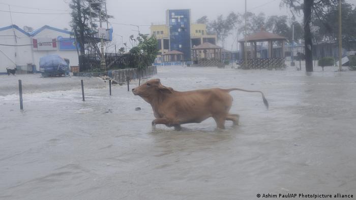 Indien | Auch eine Kuh flüchtet vor den Wassermassen