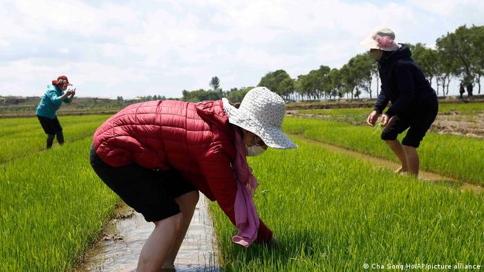 Farmers manage rice seedlings at the Namsa Co-op Farm of Rangnang District in North Korea
