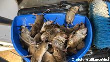 Mäuseplage in Australien