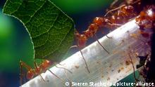 Zum dpa-Magazin-Bericht vom 27. August: Ameisen wie hier die Blattschneiderameisen können auch als Haustier in einem speziellen Terrarium gehalten werden. (Archivbild vom 26.02.2008/Die Veröffentlichung ist für dpa-Magazin-Bezieher honorarfrei.) Foto:Soeren Stache