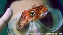 Hawaiianischer Bobtail-Kalmar Euprymna scolopes