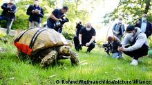 Die Spornschildkröte Helmut wird mit seinem Spezial-Rollbrett von vielen Foto- und Videoteams im Freigehege der Zoom-Erlebniswelt mit den Kameras verfolgt. Die 108 Kilogramm schwere Schildkröte leidet an Schulterarthritis. Durch das Rollbrett ist das schwere Tier wieder mobil.