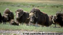 392886 09: This undated photo shows muskoxen in the Arctic National Wildlife Refuge in Alaska. The Bush administration''s controversial plan to open the refuge to oil drilling was approved by the House of Representatives on August 2, 2001, but it faces a tough battle in the Democrat-controlled Senate. (Photo by US Fish and Wildlife Service/Getty Images)