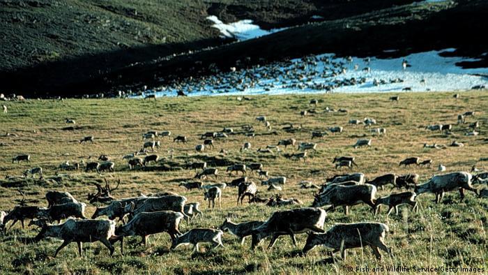 Безброй северни елени (карибу) пасат в Брукс Рейндж. Най-голямото стадо включва към 160 000 животни. Предполага се, че под моравите има към 16 милиарда барела нефт. За тези залежи се спори още от 1970-е години, но особено интензивно - от началото на този век.