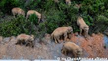 In this aerial photo released by China's Xinhua News Agency, a herd of wild Asian elephants stands in E'shan county in southwestern China's Yunnan Province, Friday, May 28, 2021. According to Chinese state media, nearby residents were evacuated as a precaution on Friday as the herd of 15 elephants have caused over 400 incidents and more than $1 million in damage since wandering out of a nature reserve area in mid-April. (Hu Chao/Xinhua via AP)