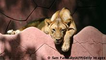 Indien | Verdacht auf Covid-Tod des Löwen und 8 weitere im indischen Zoo Test positiv | Symbolbild