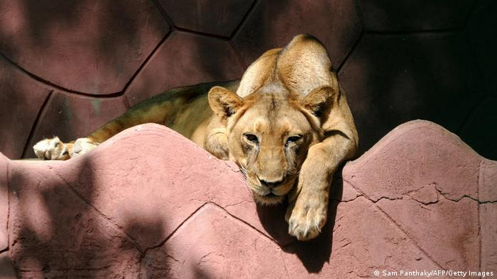 A lion rests at a zoo in Indian