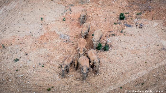 Autoridades chinas siguen de cerca el paso de la manada de elefantes, ante el riesgo de que arrase con aldeas enteras