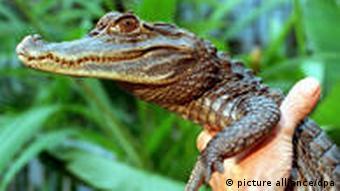 Brillenkaiman Sammy (Archivbild von 1994, Foto: dpa)